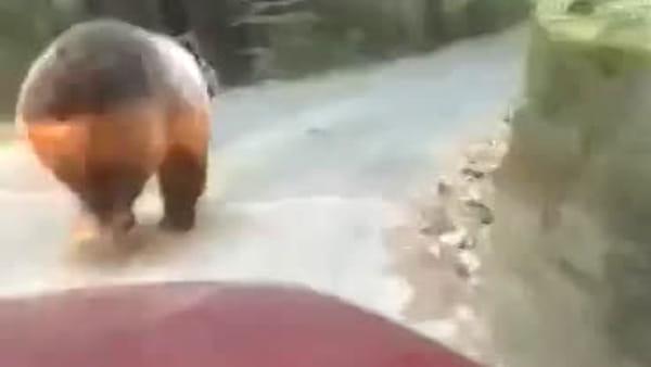 In auto inseguono un'orsa zoppicante gridando e bestemmiando, poi accelerano per spaventarne un altro
