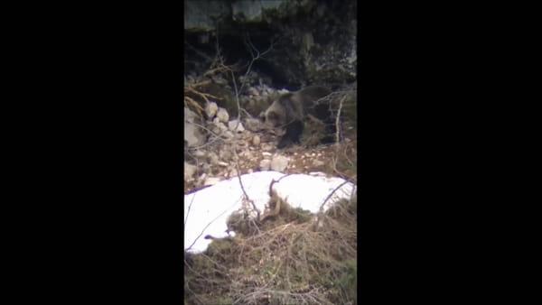 L'orso raccoglie foglie e muschio per costruire il suo giaciglio: le immagini