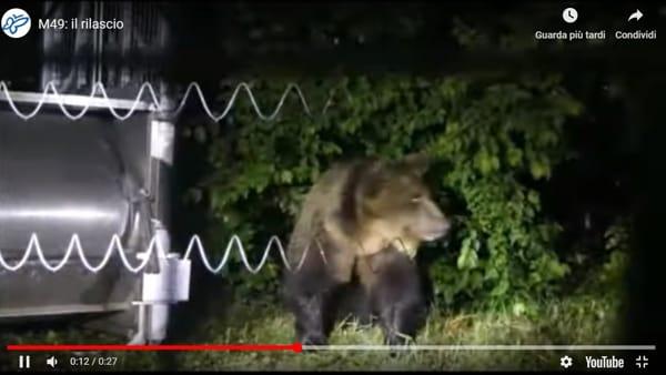 Orso, il video di M49 nel recinto del Casteller