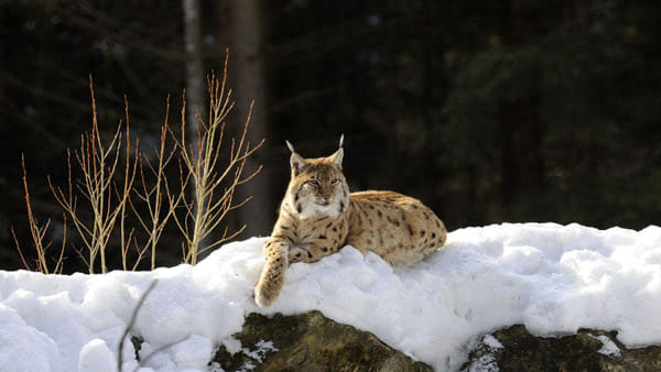 La lince è ancora in Trentino: il video dei cacciatori